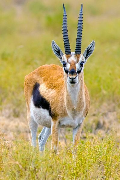 Thompson gazelle