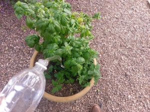 Watering a basil plant.