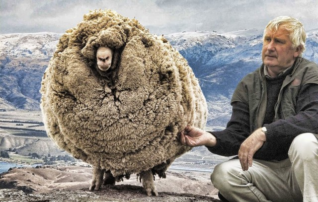 Escaped sheep in desperate need of shearing