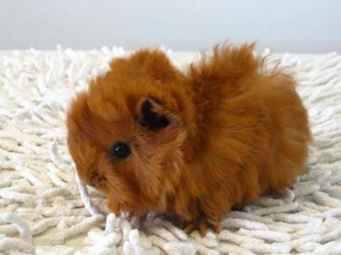 baby guinea pig 2