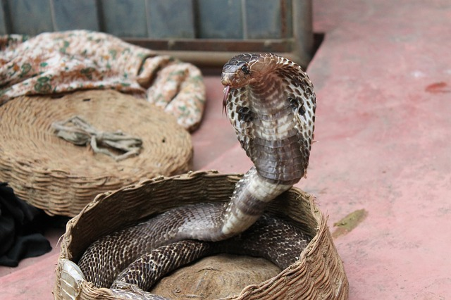 Cobra with spread hood coiled in a basket