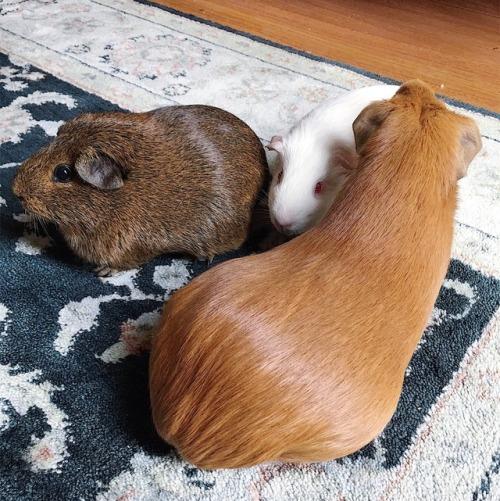 Three guinea pigs. Small brown, small white, giant cinnamon