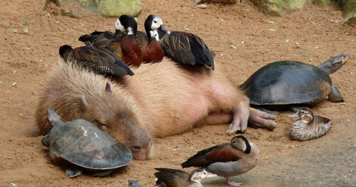 Capybara taking a nap with ducks on his back